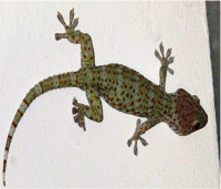 A Tokay! They can average between 7-20 inches long, and are called Tokay because of their mating call which sounds a bit like