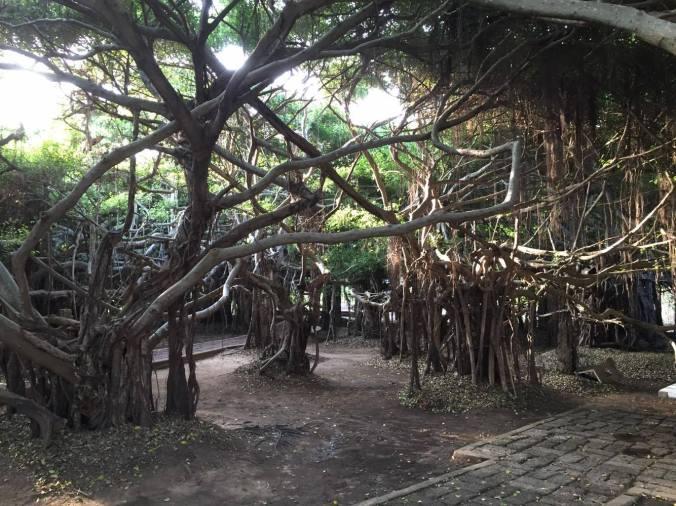 Banyan branch